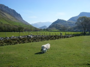 39 sheep