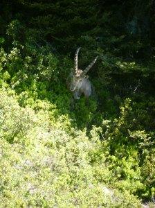 44 D1 Ibex